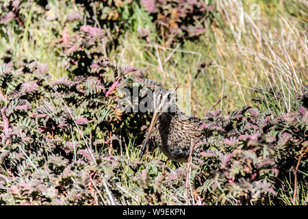 Magellanic Snipe, Gallinago magellanica, Sea Lion Island, in the Falkland Islands, British Overseas Territory - Stock Photo