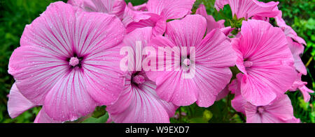 Flowers of pink  Lavater (malvaceae), or annual, rose, royal or regal  Mallow with leaves in the garden close up. Annual Mallow (Lavatera trimestris) - Stock Photo