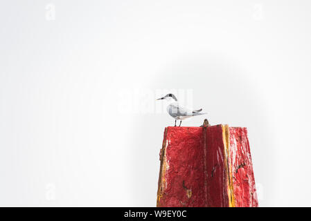 Sandwich tern, Sterna sandvicensis perched on red channel marker bouy - Stock Photo