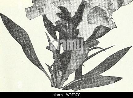 Archive image from page 5 of Currie's garden annual  spring. Currie's garden annual : spring 1934 59th year  curriesgardenann19curr_0 Year: 1934 ( ANTIRRHINUM MAJESTIC— (Super Giant Snapdragons) Majestic Antirrhinums are characterized by having the largest possible florets closely spaced in large spikes on a medium tall plant. The flowers are the largest of any type, with far better spacing than that found in any other type. They have been proven the best for both cut flower and border use and will, no doubt, supersede the other strains when a complete color range has been developed. So far, t - Stock Photo