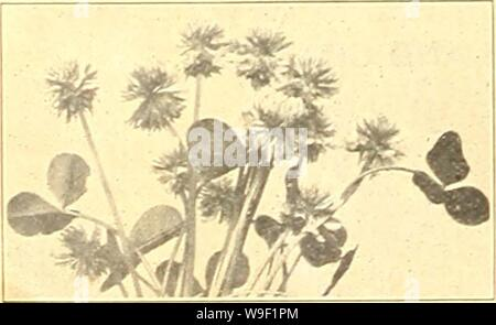 Archive image from page 9 of Currie's farm and garden annual. Currie's farm and garden annual : spring 1923 48th year  curriesfarmgarde19curr_6 Year: 1923 ( L CURRIE'S SPECIAL LAWN GRASS MIXTURE THOROUGHLY TESTED AND ANALYZED FOR GERMINATION AND PURITY. Composed of Evergreen Griisscs, best suited to our American Climate, only the finest and cleanest grades of Seed being used. This splendid mixture is composed of only the finest dwarf-growing evergreen grasses; absolutely free from weed seeds or other impurities; especially adapted and mixed in the proper proportions to suit the American climat - Stock Photo
