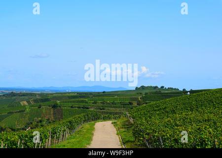 Auggen, Germany, 20 August 2017: vineyard in the sun - Stock Photo