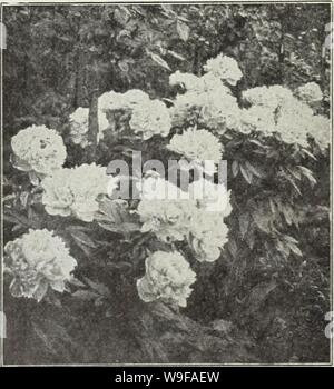 Archive image from page 26 of Currie's autumn 1929 54th year. Currie's autumn 1929 54th year bulbs and plants  curriesautumn19219curr Year: 1929 ( Viola (Tufted Pansy) PEONIES The most popular of all hardy herbaceous plants, admired by everybody, and so easily grown that no one with even the most Hmited garden space should be without one or rnore. They are perfectly hardy, thriving in almost any soil either in the open or light shade. Well enriched loam, however, suits them best, carefully avoiding an over abundance of fresh manure close to the roots. Beware of too deep planting. Make the hole - Stock Photo