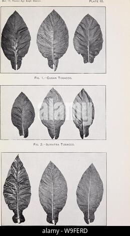 Archive image from page 36 of Cultivation of tobacco in Hawaii. Cultivation of tobacco in Hawaii  cultivationoftob15smit Year: 1907 ( Fig. 3.—Sumatra Tobacco, Belgian Type. - Stock Photo