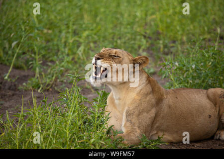Lioness baring her teeth, Selous Game Reserve, Tanzania - Stock Photo