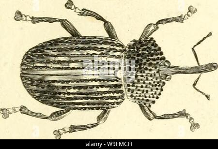 Archive image from page 54 of [Curculionidae] (1800) - Stock Photo