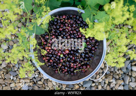 Looking down at a colander of freshly harvested black currants set among ladies mantle flowers. - Stock Photo