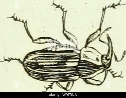 Archive image from page 66 of [Curculionidae] (1800) - Stock Photo
