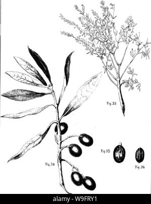 Archive image from page 66 of The olive  its culture Stock Photo