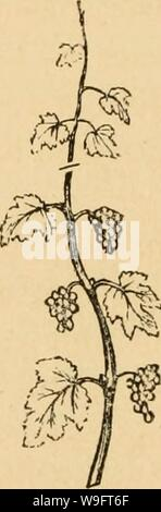 Archive image from page 67 of The cultivation of the native - Stock Photo