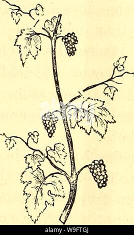 Archive image from page 69 of The cultivation of the native - Stock Photo