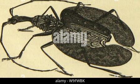 Archive image from page 73 of Die Insekten, Tausendfüssler und Spinnen. Die Insekten, TausendfuÌssler und Spinnen  CUbiodiversity1123035 Year: 1877 ( 'JJomtnirkirläfct (Bmi-liinus »ecncBfiett. jebocf) runbet, unb ein unterfetjter, loenig niebergebrücfter Ãörbcr mit arfjt fidjtbarett ,£iittcrleib§» ringen Beim Wänudjen, fieben beim anberen ÂcfctjtccEjt bereinigt eine grofje Strtjarjl fcljr ät)itlid) auäfeljcnber fiauffäfet, bie aud) in ibren Âitten mel) rfad) Ucbcreinftintmcnbcg b,abcn. Soor altem leben fie gcfeltig unter Âteilten ober jmifdjen Saumwurjeln unb befitjcn borljerrfdjen - Stock Photo