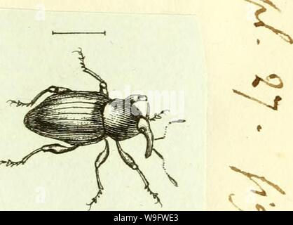Archive image from page 74 of [Curculionidae] (1800) - Stock Photo