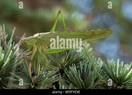 male Great green bush-cricket, Tettigonia viridissima, in pine tree, Verdon Gorge, France - Stock Photo