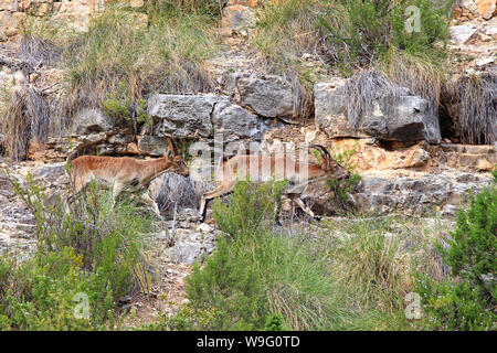These Ibex live along the gorge between Cofrentes and Cortes de Pallas in Valencia, Spain. The Spanish Ibex (C. pyrenaica) are sturdy and sure-footed. - Stock Photo