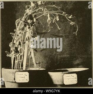 Archive image from page 135 of The culture and diseases of. The culture and diseases of the sweet pea  culturediseaseso01taub Year: 1917 ( Fig. 5.—Root Rot caused by Rhizoctonia. Healthy and diseased plants.    Fig. 6.—Root Rot caused by Rhizoctonia. To the right the soil was inoculated with the fungus, resulting in no ger- mination; to the left, check. - Stock Photo