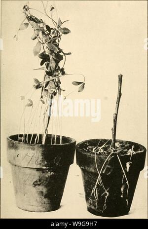 Archive image from page 150 of The culture and diseases of. The culture and diseases of the sweet pea  culturediseaseso01taub Year: 1917 ( Fig. ii.— Fusarium Wilt or Root Rot. At left, healthy plant; at right, infected. - Stock Photo