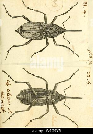 Archive image from page 156 of [Curculionidae] (1800) - Stock Photo