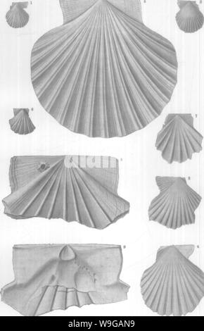 Archive image from page 164 of Mollusca and Crustacea of the - Stock Photo