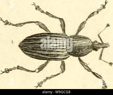 Archive image from page 180 of [Curculionidae] (1800) - Stock Photo