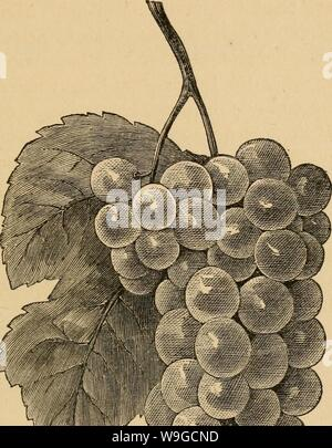 Archive image from page 180 of The cultivation of the native. The cultivation of the native grape  cultivationofnat01husm Year: 1866 ( V ,' . - Stock Photo