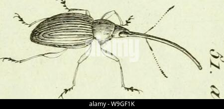 Archive image from page 206 of [Curculionidae] (1800) - Stock Photo