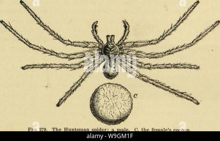 Archive image from page 278 of American spiders and their spinning - Stock Photo