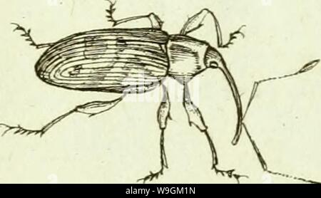 Archive image from page 278 of [Curculionidae] (1800) - Stock Photo