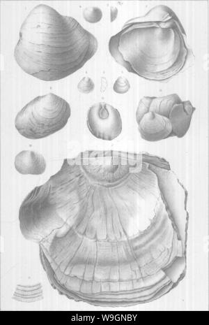 Archive image from page 299 of Brachiopoda and Lamellibranchiata of the - Stock Photo