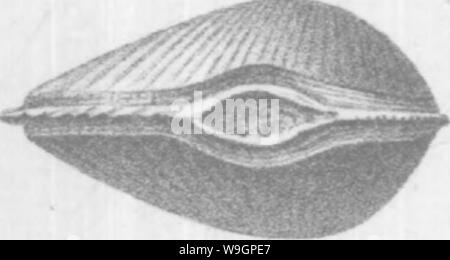 Archive image from page 313 of Brachiopoda and Lamellibranchiata of the - Stock Photo