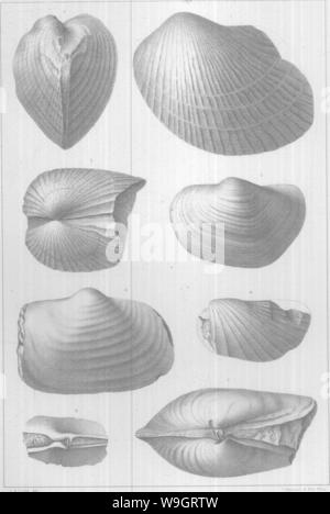 Archive image from page 339 of Brachiopoda and Lamellibranchiata of the - Stock Photo