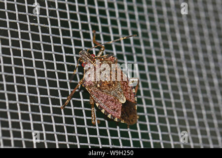 brown marmorated stink bug or shield bug Latin halyomorpha halys from the pentatomidae family in Italy native to Asia a serious pest in Europe and USA - Stock Photo