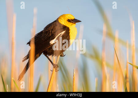 Male Yellow-headed Blackbird, (Xanthocephalus xanthocephalus), Maxwell National Wildlife Refuge, New Mexico, USA. - Stock Photo