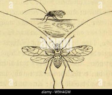 Archive image from page 582 of Die Insekten, Tausendfüssler und Spinnen. Die Insekten, TausendfuÌssler und Spinnen  CUbiodiversity1123035 Year: 1877 ( ajievpunftiflc ui;b liiüirte §oljlau8. Âtcuiblaul. 521 Wü bcnunanf cliultcrjeu, anSSaumftämmenunb planten aujutvcffenben £> ol31üu je n (Psocus) ldcginut bie SReitje ber auäfcrjliefjlidjen £anbbcWol)uer unter ben fllctcEjnrtig geflügelten ffauferfen. Sic äufjcre (5rjct)einung biefer Stjievdjen redjtfcrtigt bic beutfdje Benennung feine§weg§. 2Bie ber ffojjf fiel) btird) eine blafig aufgetriebene Âtirn nad) born, burd) glotjenbe St - Stock Photo