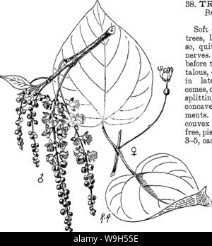 Archive image from page 620 of Indian trees  an account Stock Photo