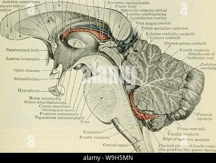 Archive image from page 650 of Cunningham's Text-book of anatomy (1914) - Stock Photo