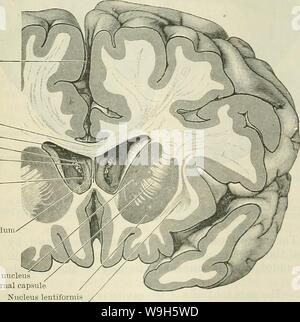 Archive image from page 666 of Cunningham's Text-book of anatomy (1914). Cunningham's Text-book of anatomy  cunninghamstextb00cunn Year: 1914 ( Longitudinal fissure Corpus callosum Lateral ventricle Column of fornix Chorioid plexus Foramen inter- ventrieulare Septum pellucidum    Caudate nucleus Internal capsule Nucleus lentiformis Claustrum Fig. 562.—Frontal Section through the Cerebbal Hemispheres so as to cut through the anterior horns of the lateral ventricles, through which the central part of the ventricles, the columns of the fornix, and the interventricular foramina can be seen. ticulu - Stock Photo