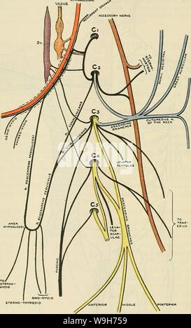 Archive image from page 727 of Cunningham's Text-book of anatomy (1914) - Stock Photo