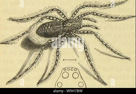 Archive image from page 745 of Die Insekten, Tausendfüssler und Spinnen. Die Insekten, TausendfuÌssler und Spinnen  CUbiodiversity1123035 Year: 1877 ( 672 3>wite Drbmmg: !ffie&f|>iunen; fünfte gcimUic: SBotfäflMiuicii.    fammetartigen Âtunbei getjüvt 31t bet cfjatattciiftifcfjen 3eictjnung bei Sorbet» unb Hinterleibes fammtlidjer Âattungigenoffen. SieSlrten, toeldje eine ungcjäljute 2lftcrftauc, einen feljt ftfjmalcn unb botn l)od) abgebadjten Ãobf Ijabeu, bie Slugen in bet 2ttt georbnet unb eine fför|)etjeidjnung tragen, loie bie folgenbe ?lbbilbung beibe borfüljrt, Ijat man ne - Stock Photo