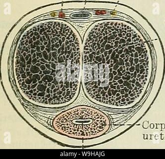 Archive image from page 1342 of Cunningham's Text-book of anatomy (1914). Cunningham's Text-book of anatomy  cunninghamstextb00cunn Year: 1914 ( THE MALE UEETHEA. 1309 opening into the canal, they lie for some distance immediately beneath its mucous membrane. A number of little pit-like recesses, called the lacunae urethrales, also open into the cavernous part of the urethra, and are so disposed that their openings lead for the most part obliquely into the canal in the direction of its external orifice. In some cases a somewhat valve-like fold of the mucous membrane, the valvula fossae navicul - Stock Photo