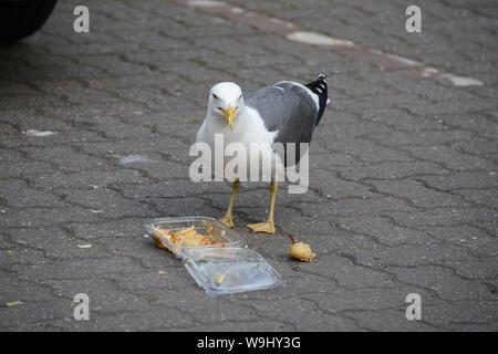 seagull eating a potato salad - Stock Photo