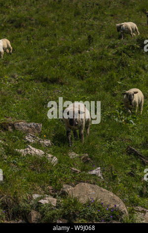 sheeps between the beautiful swiss alps near toggenburg, summer - Stock Photo
