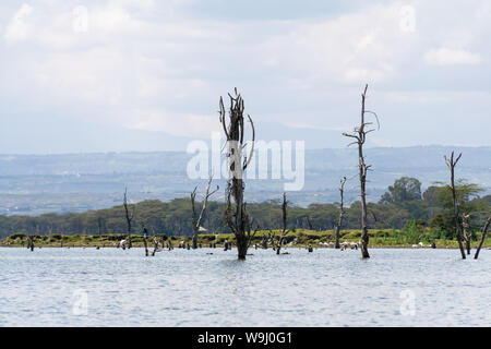 Partially submerged dead trees due to rising water levels, lake Naivasha, Kenya, East Africa - Stock Photo