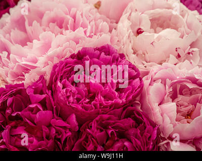 Close up of pink peony flowers