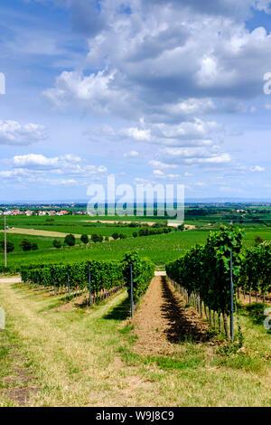 Vineyards near Bad Dürkheim, Germany, late summer - Stock Photo