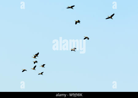 Flock of migrating geese flying in an imperfect V formation. Birds flying in formation, Blue sky background. Nelapattu Bird Sanctuary Nellore Andhra P - Stock Photo