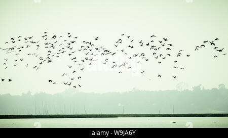 Flock Of Cormorant Shag Birds Flying Over Lake In Winter. Migratory waterfowl fly on their way back to their nesting places, the day about to end in E - Stock Photo
