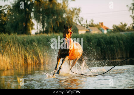 A brown horse runs through the water and produces a lot of splashes at sunset. - Stock Photo