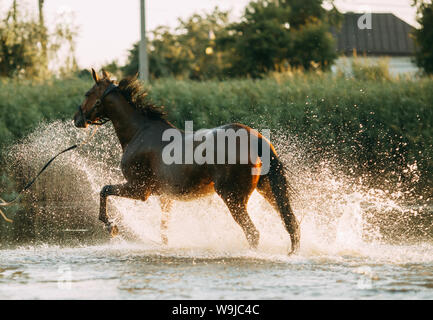 A brown horse runs through the water and produces a lot of splashes. - Stock Photo