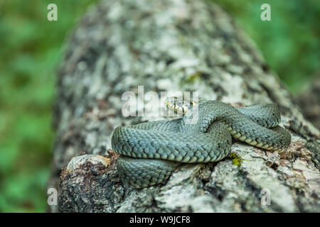 Single coiled grass snake lying on a tree trunk - Stock Photo
